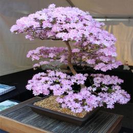 Bonsai Japoński Sakura Bonsai Kwiat Wiśniowe kwiaty Wiśniowe Drzewo Roślin Ozdobnych 10 nasiona/opakowanie Dom Ogród Bonsai
