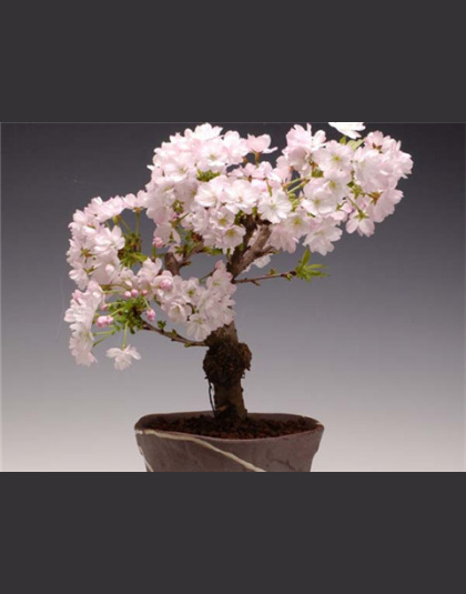 Bonsai Japoński Sakura Bonsai Kwiat Wiśniowe Kwiaty Wiśniowe Drzewo Roślin Ozdobnych 10 Nasionaopakowanie Dom Ogród Bonsai