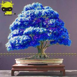 Rzadko Fioletowy Niebieski Duch Japońskie Drzewa Klonowego, (Acer Palatum), kwiat bonsai drzewo roślin dla domu ogród-10 SZTUK