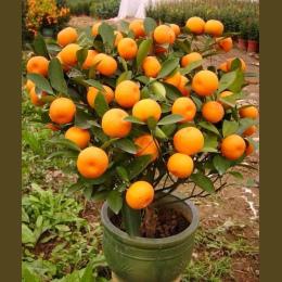 Bonsai Gorąca Sprzedaż 50 nasiona/opakowanie Pomarańczowy Bonsai Bonsai Mandarynki Owoców Oraneg Drzewa Dla Domu