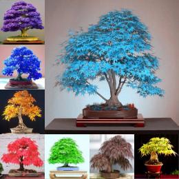 2018 Nowy Mpale Drzewo 30 nasiona/opakowanie Bonsai Niebieski Maple Tree Japoński Balkon rośliny dla domu ogród