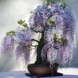 Bonsai 2017 Nowa Gorąca Sprzedaż 10 nasiona/Opakowanie Bonsai Wisteria Dziedziniec Domu Kwiaty Ogrodowe