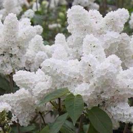 Bonsai 100 nasiona/pakiet Biały Japoński Liliowy (Bardzo Pachnące) ząbek kwiat dla domu i ogrodu
