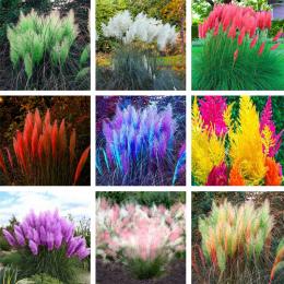 Pampas Grass'Seeds Colorfull Domu Rośliny Ogrodowe Są Bardzo Piękne flowers'seeds Dekoracyjne 600 sztuk