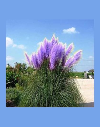 Pampas Grassseeds Colorfull Domu Rośliny Ogrodowe Są Bardzo Piękne Flowersseeds Dekoracyjne 600 Sztuk