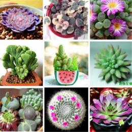Niemiecki Import Z Kwiaty Doniczkowe Sukulenty 100 sztuk/partia bonsai