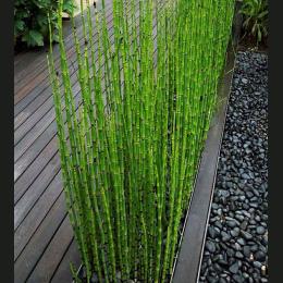 Może Być Uprawiane w Pomieszczeniach Świeże Mosó BambooSeeds MOSO BAMBUS TreeSeeds 60 sztuk W Ogrodzie Domu DIY
