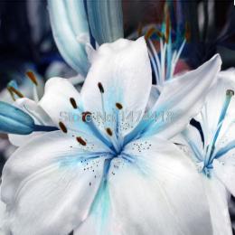 Bonsai 100 nasiona/opakowanie Promocje Niebieskie Serce Lily Doniczkowe Bonsai Roślin Kwiat Lilii dla Domu Ogród