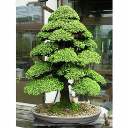Bonsai 10 nasiona/opakowanie Drzewa Cedrowego Cedrus Bonsai Bonsai Diy Home Ogród Roślin