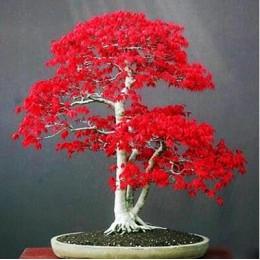 100% prawdziwe usa czerwony klon drzewo ameryki bonsai 30 sztuk seedsplants bardzo piękne kryty drzewa domu ogród dekoracji