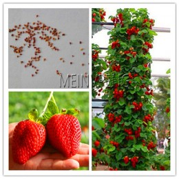 Najlepiej sprzedający się! 100 sztuk wspinaczka truskawki bonsai wspinaczka czerwone truskawka roślin ze smarem łosośnym * NON-G