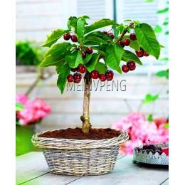 Nowy przyjazd! 4 rodzaj owoców, bonsai owoce drzewko bonsai, warzyw i owoców ogród roślin pyszne apple orange kiwi wiśniowe całk