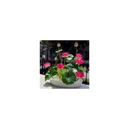Bonsai kwiat kwiat lotosu dla lato 100% prawdziwe miska lotosu doniczkowe Bonsai rośliny ogrodowe 5/worek