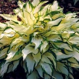 150 sztuk/worek piękne Hosta rośliny byliny kwiat lilii cień Hosta kwiat trawy bonsai rośliny ozdobne dom ogród